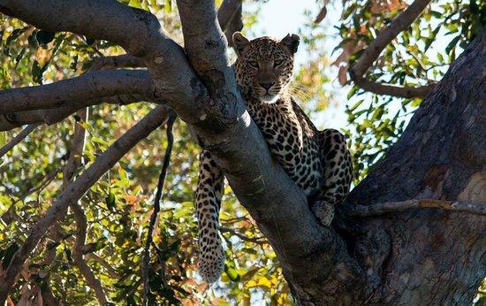 Belmond Khwai River Lodge: Leopard in Moremi