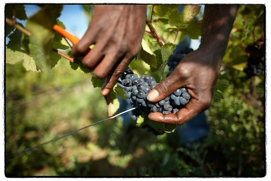 JanotsBos: Wine harvest