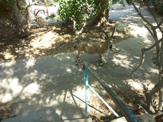 Ein Gedi Hotel: Find an ibex