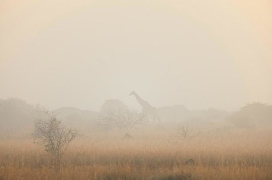 andBeyond Phinda Forest Lodge: giraffe in the mist of the dawn