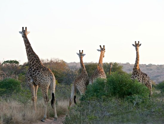 andBeyond Phinda Forest Lodge : lots of giraffes