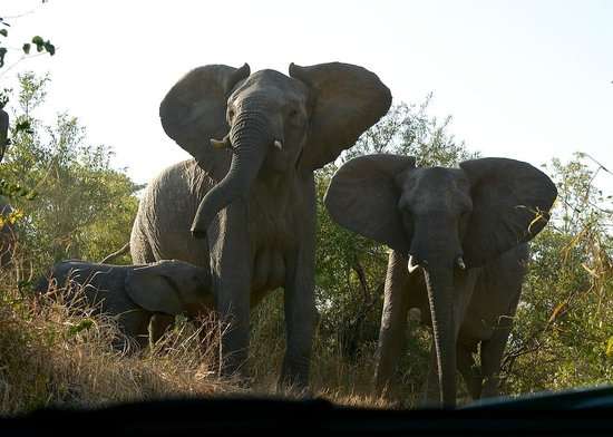 Sabi Sabi Bush Lodge : momma elephant not happy with us