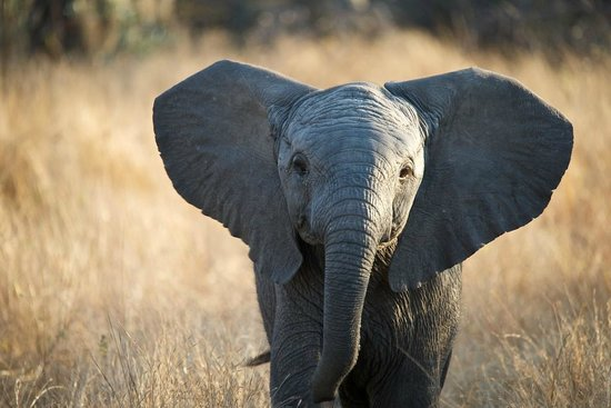 Sabi Sabi Bush Lodge : baby elephant