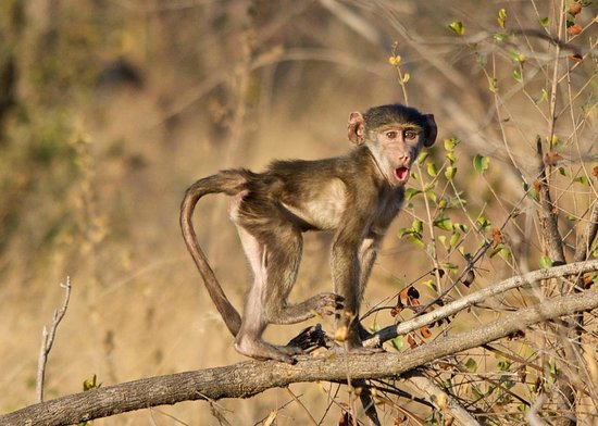 Sabi Sabi Bush Lodge : funny monkey