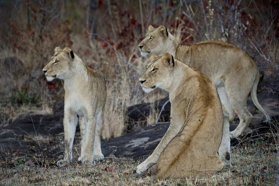 Sabi Sabi Bush Lodge : lions