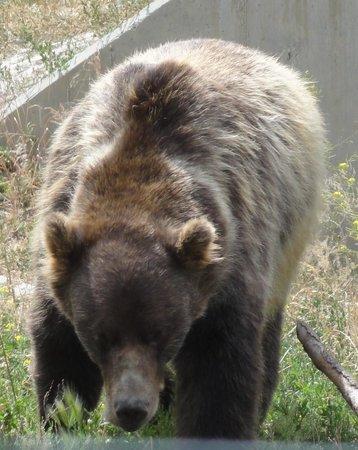 Kamloops Wildlife Park : Grizzly