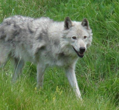 Kamloops Wildlife Park : Grey Wolf