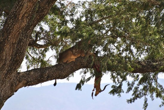 Zimbabwe : Lioness eating the kill in the tree