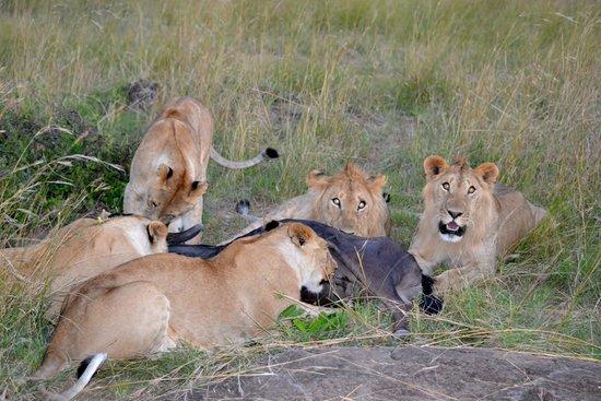 Enkewa Camp: festin de leones