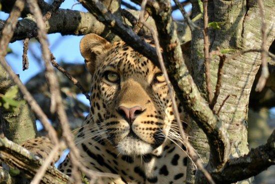 Enkewa Camp: leopardo