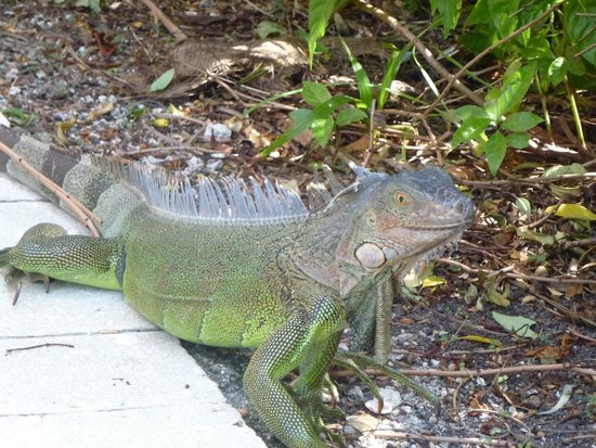 Tranquility Bay Beach House Resort : Friendly critters by the pool :)