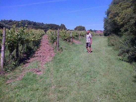 Sedlescombe Organic Vineyard: Vineyard