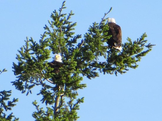Caprice Bed & Breakfast : Eagle watching