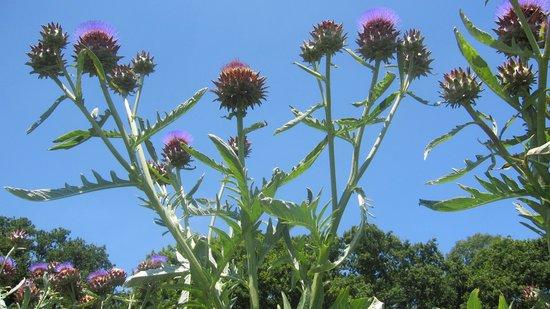 Sussex Prairies Garden: Thistles