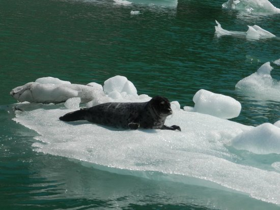 Whale Song Cruises : Seals on ice blocks