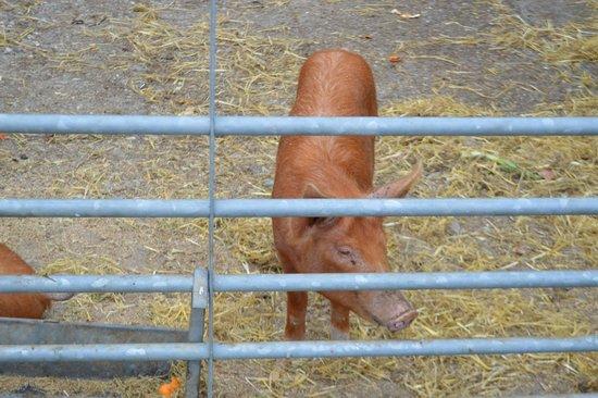 Trevayne Farm Caravan and Camping: Animals on the Trevayne farm