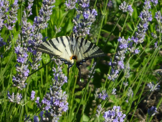 Country House Pro Vobis: Butterflies in lavender at the pool area