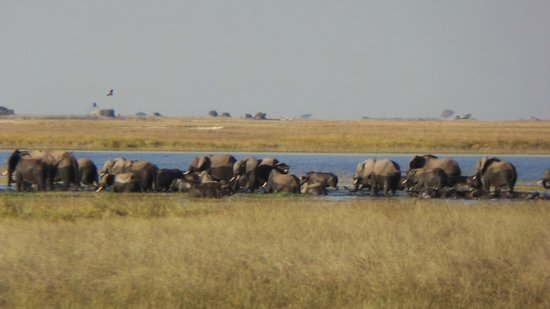 Muchenje Safari Lodge: Just a small number of the elephants on the way to the island