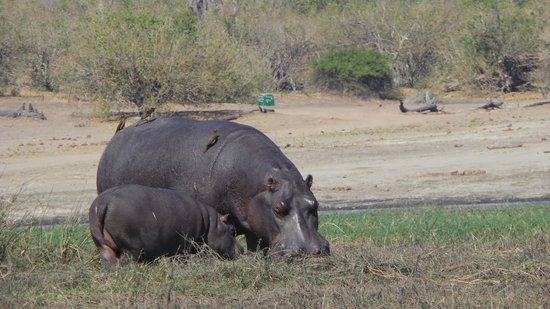 Muchenje Safari Lodge : Hippos feed by day in Chobe
