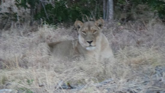 Muchenje Safari Lodge: lioness getting ready to hunt