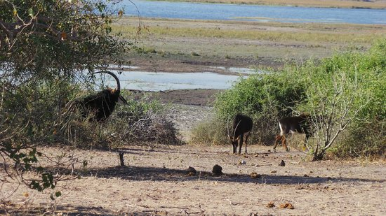 Muchenje Safari Lodge : Endangered Sable Antelope