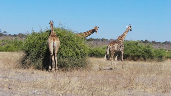 Muchenje Safari Lodge : Giraffes