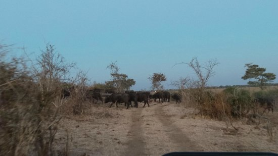 Muchenje Safari Lodge : Cape buffalo crossing the road - there was a huge herd of them - possible 100+