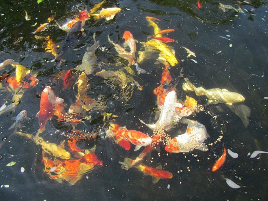 Feeding time for the koi carp picture of conwy water for Koi carp centre