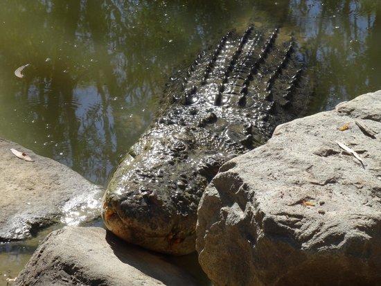 Hartley's Crocodile Adventures: Large male croc