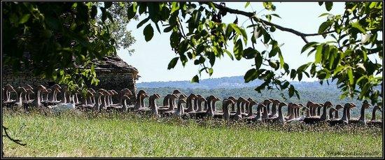 Domaine de la Rhonie: Les oies