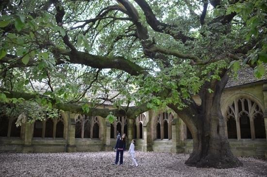 New College: the tree
