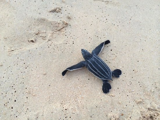 Galley Bay Resort & Spa: This baby leatherback made it to the sea