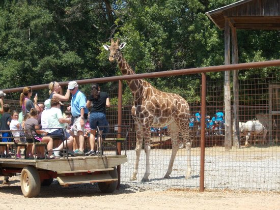 The Lazy 5 Ranch: You can get up close, even with the giraffes!