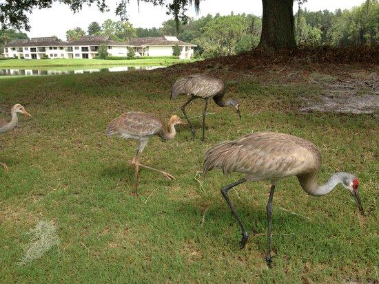 Saddlebrook Resort Tampa: Wildlife on the golf course