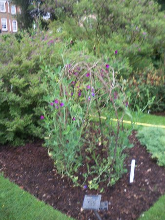Chelsea Physic Garden: This plant can be used to make wine