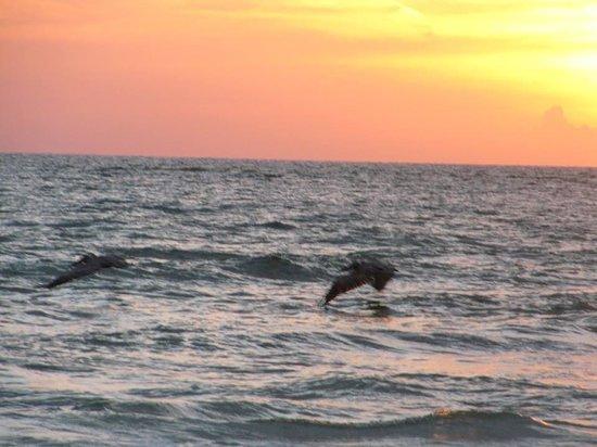 Casa Playa Resort: pelicans