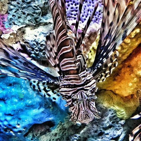 Mote Marine Laboratory and Aquarium: Lion Fish
