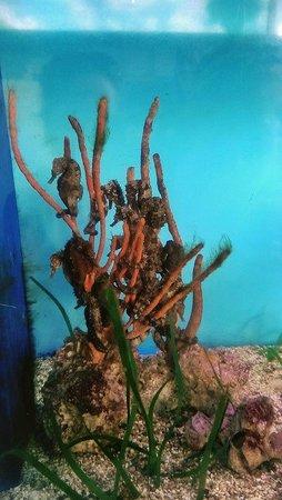 Mote Marine Laboratory and Aquarium: Sea Horse