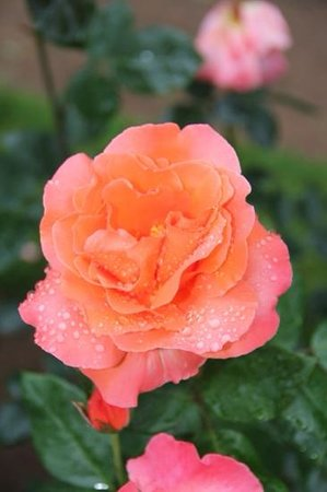 Annapolis Royal Historic Gardens: A Rose by anyother name...