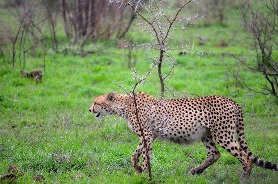 Lukimbi Safari Lodge: Cheetahs on last drive of stay