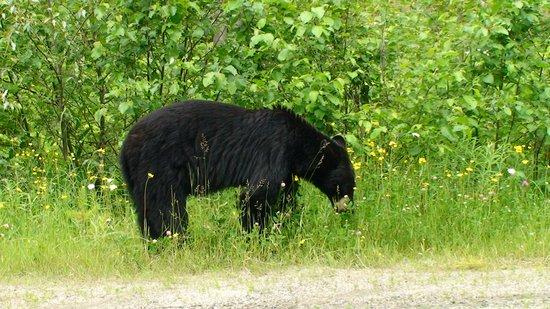 Moul Creek Lodge B & B: Bears!