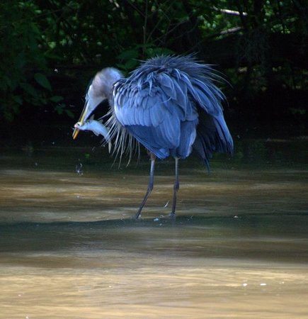 Dr. Wagner's Honey Island Swamp Tours: Blue heron fishing in the main river.
