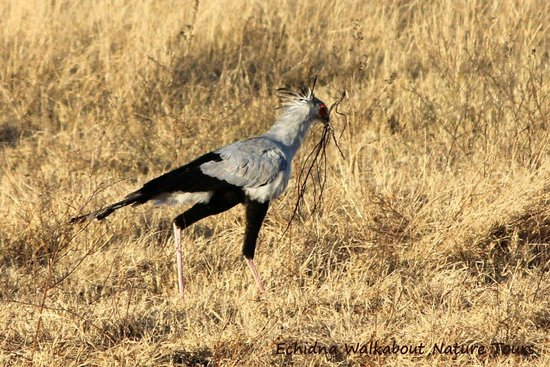 Sable Sands: Secretary Bird with nesting material