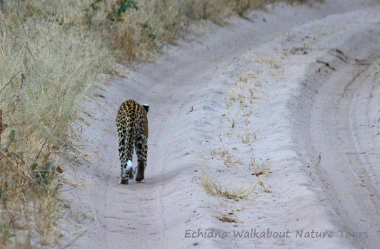 Sable Sands: a female leopard walking away from us