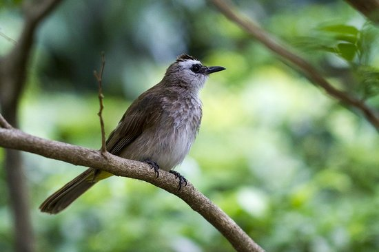 Paradise Beach Resort : Yellow-vented Bulbul