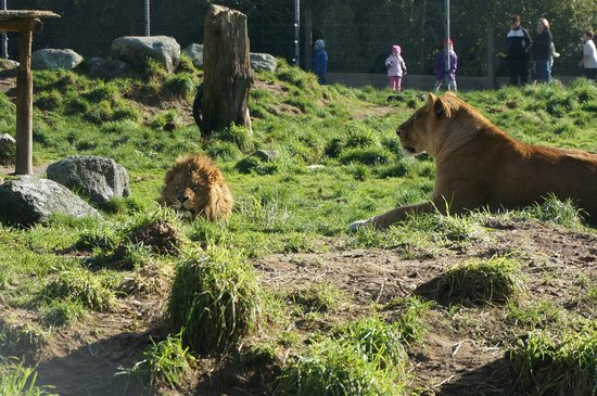 Paradise Valley Springs Wildlife Park : lions