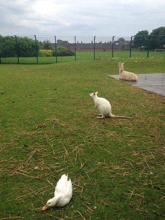 East Park: White kangaroo