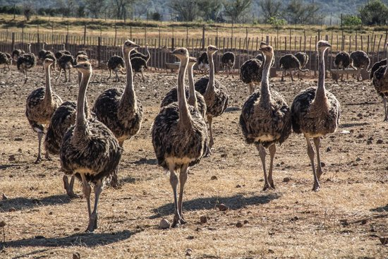 Berluda Farmhouse & Cottages: Ostriches in the Farm