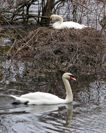 Airlie Gardens : Swans
