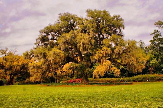 Airlie Gardens : Airlie Oak